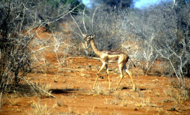 Il gerenuk, l'antilope giraffa.