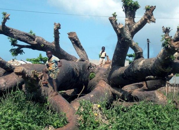 Malindi, bimbi che giocano su un baobab caduto.