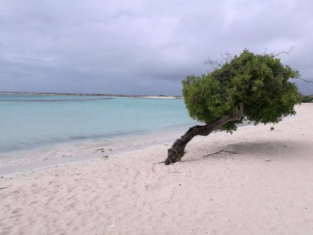 L'albero tipico dell'isola è il divi divi.