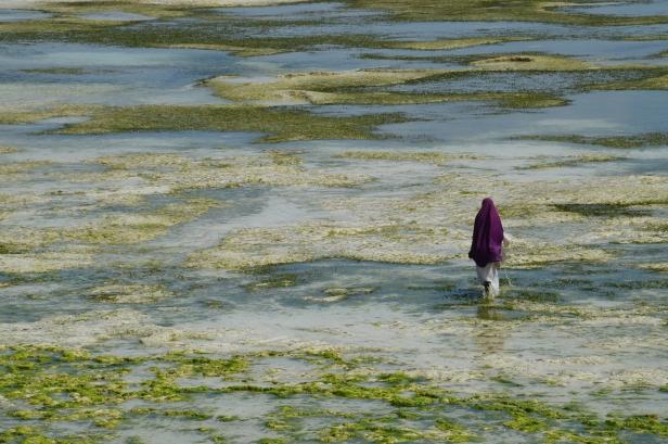 """Le """"mamas"""" di Zanzibar che coltivano le alghe."""