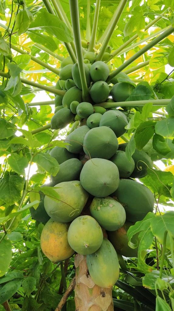 Albero di papaya.