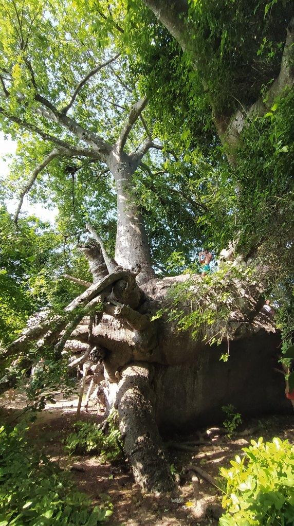 Baobab, isola di Kwale.