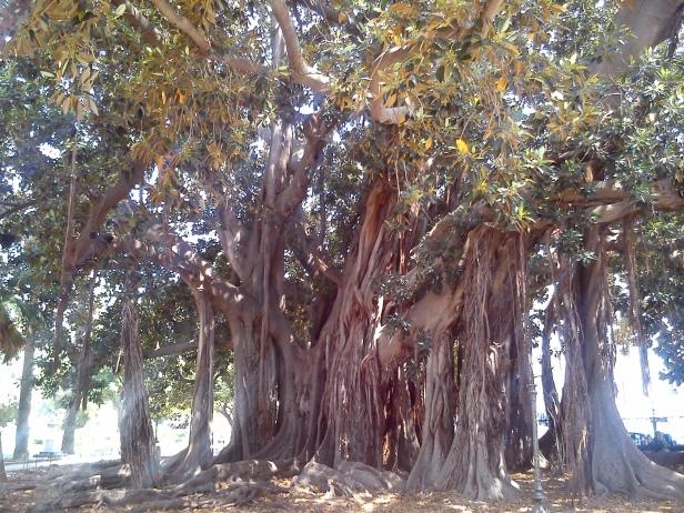 Ficus macrophylla di Piazza Garibaldi.