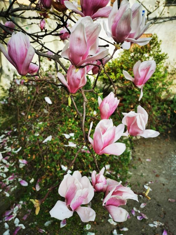 Fiori di magnolia.